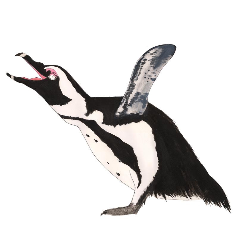 african-penguin-f