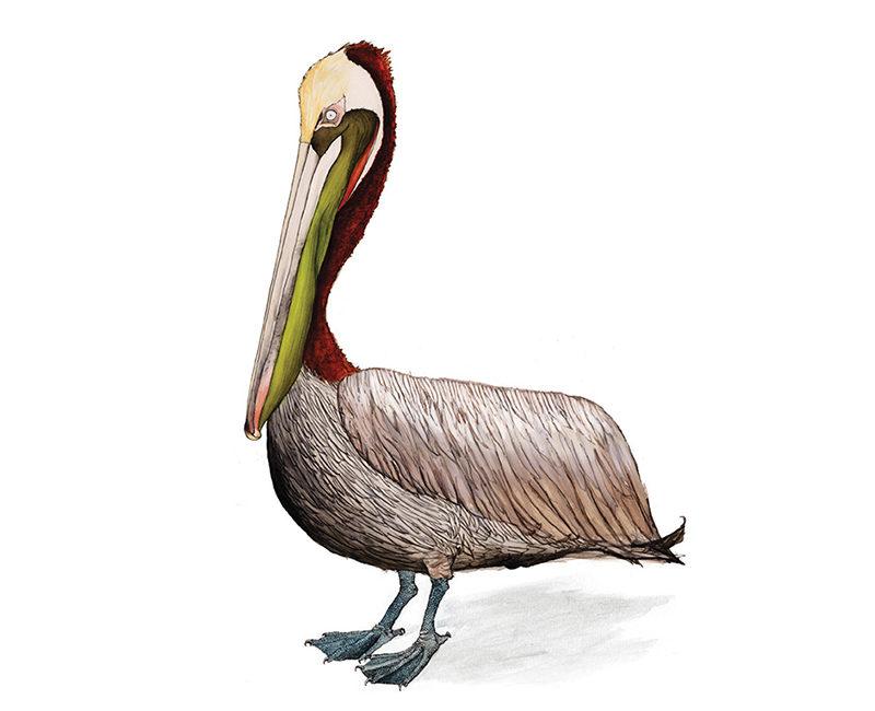 brown-pelican