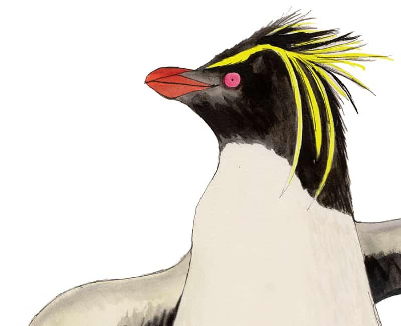 rockhopper penguin giclee print