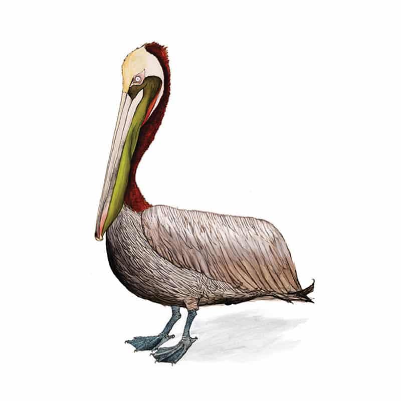 pelican-feat