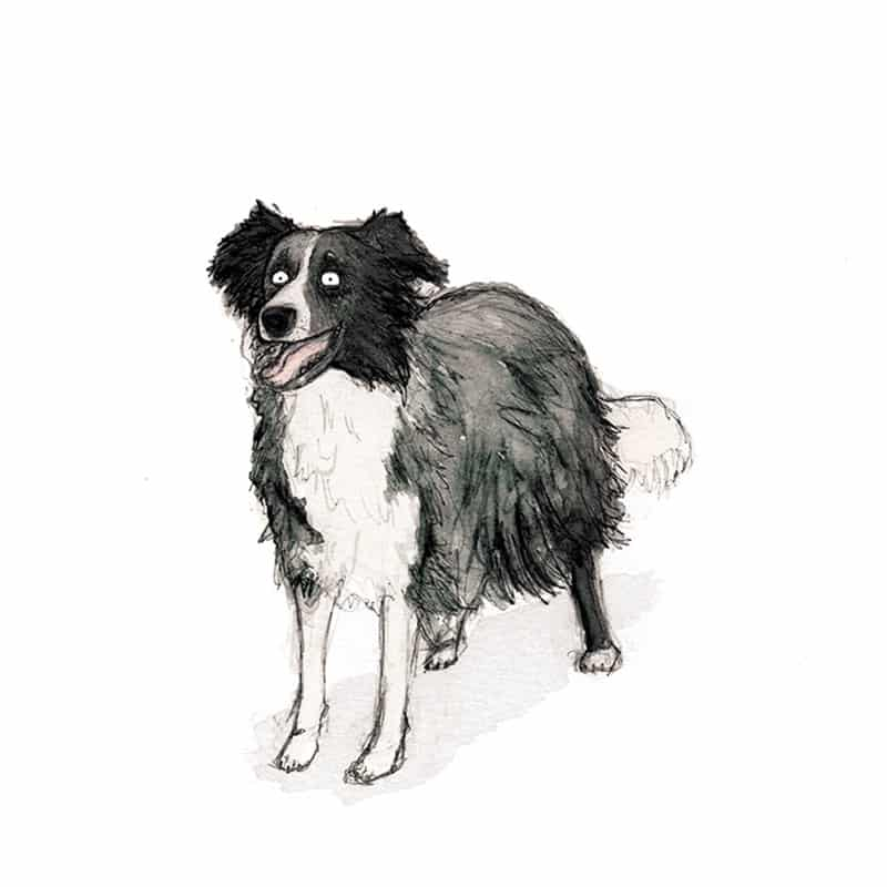 border-collie-feat