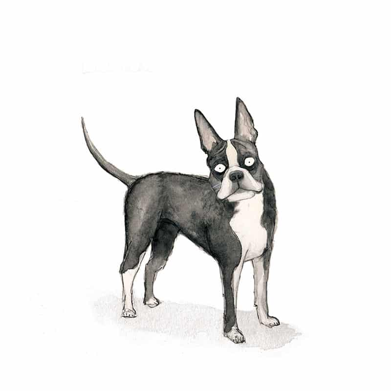 boston-terrier-feat