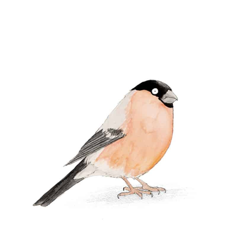 bullfinch-feat