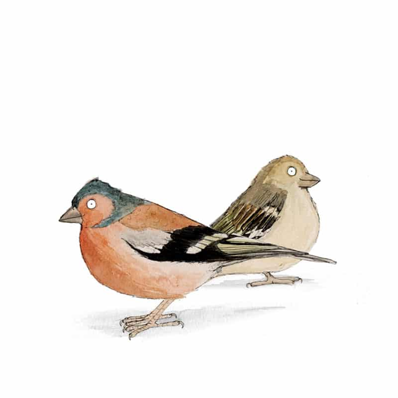 chaffinches-feat