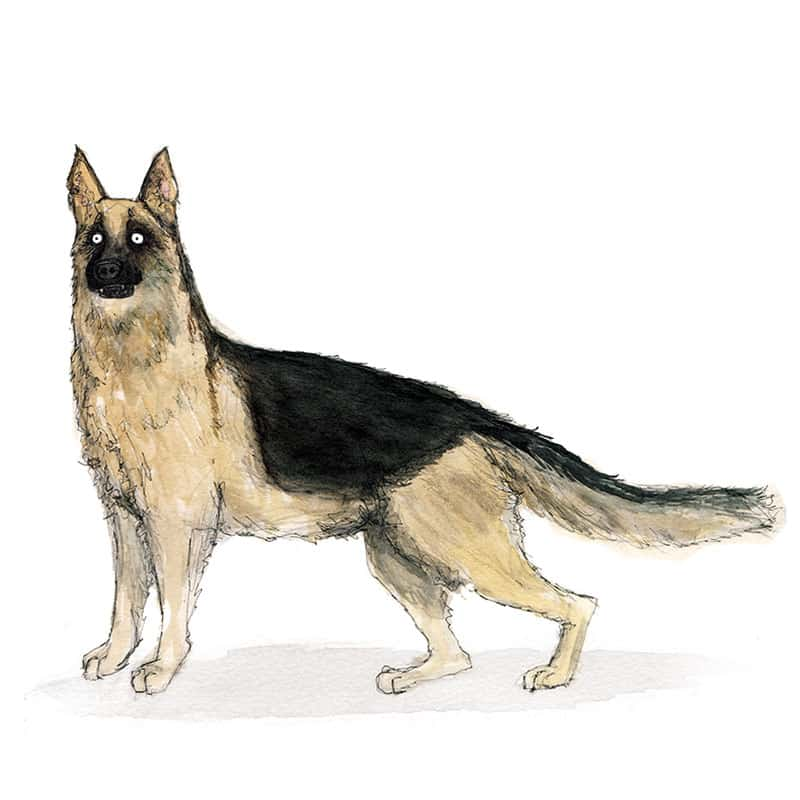 german-shep-feat