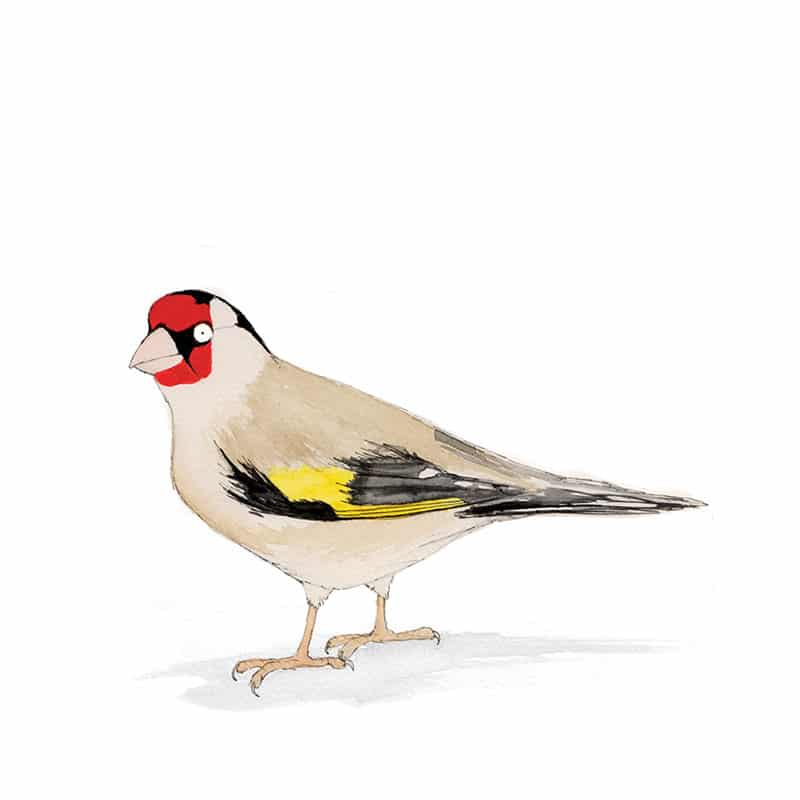 goldfinch-feat