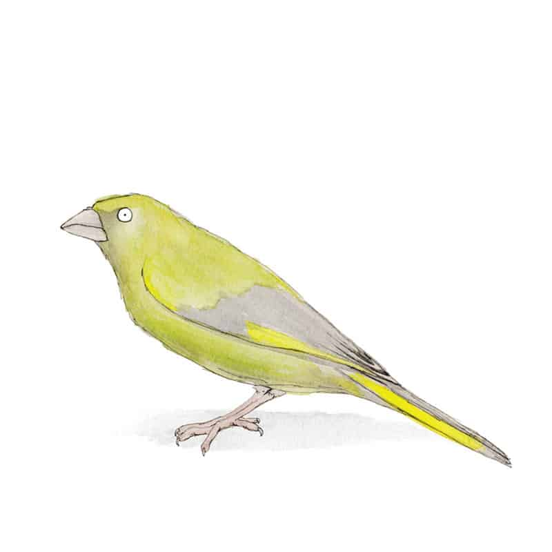 greenfinch-feat