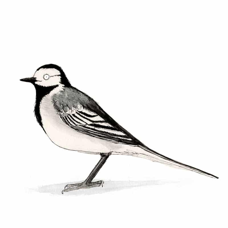 pied-wagtail-feat