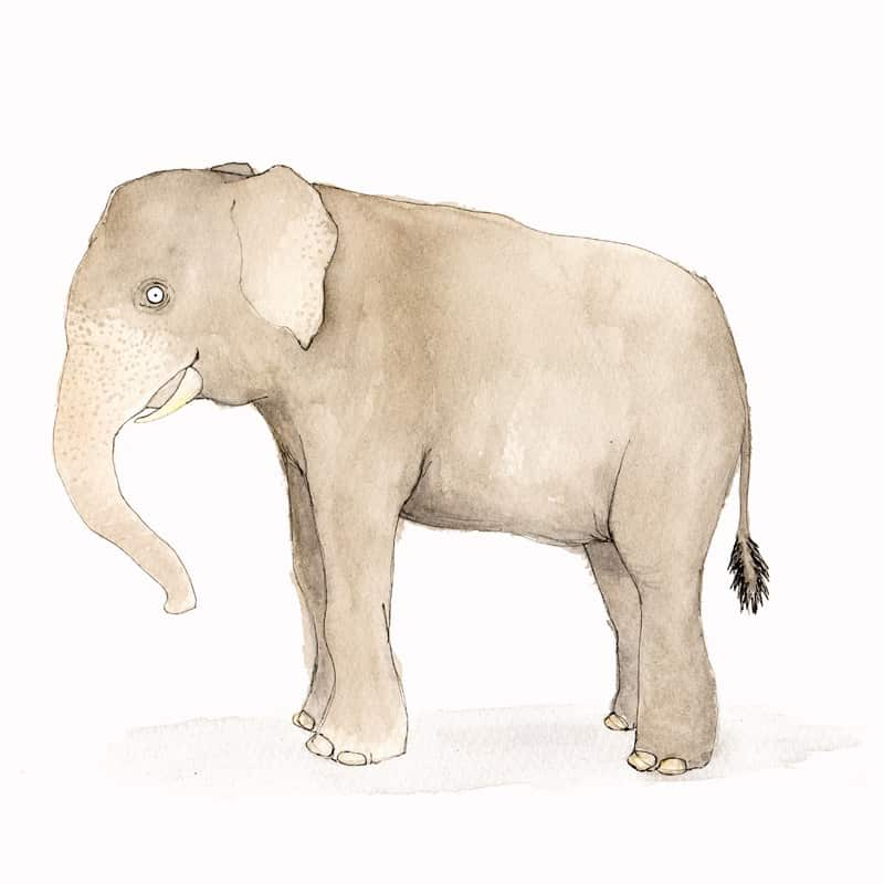 asian-elephant-featured