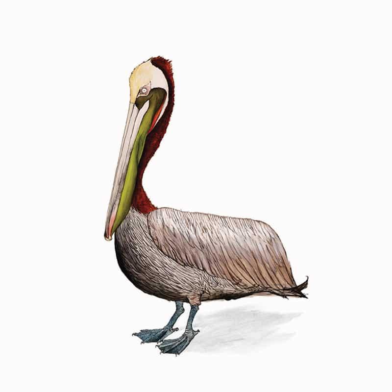 brown-pelican-featured